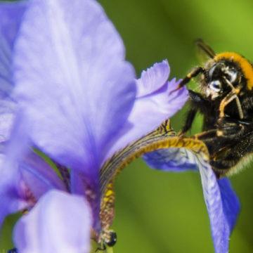 Osnabrücker BienenBündnis